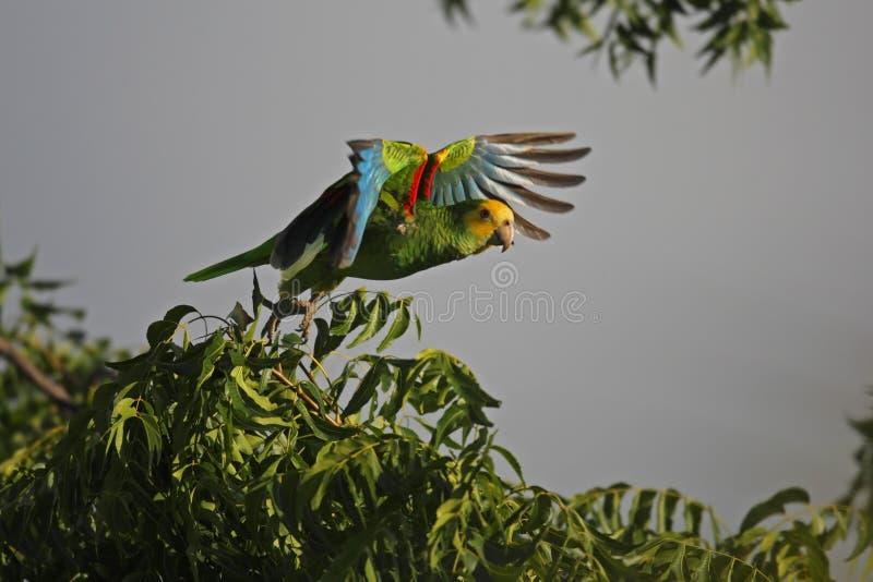 Geel-gesteunde Papegaai (barbadensis Amazona) stock afbeelding