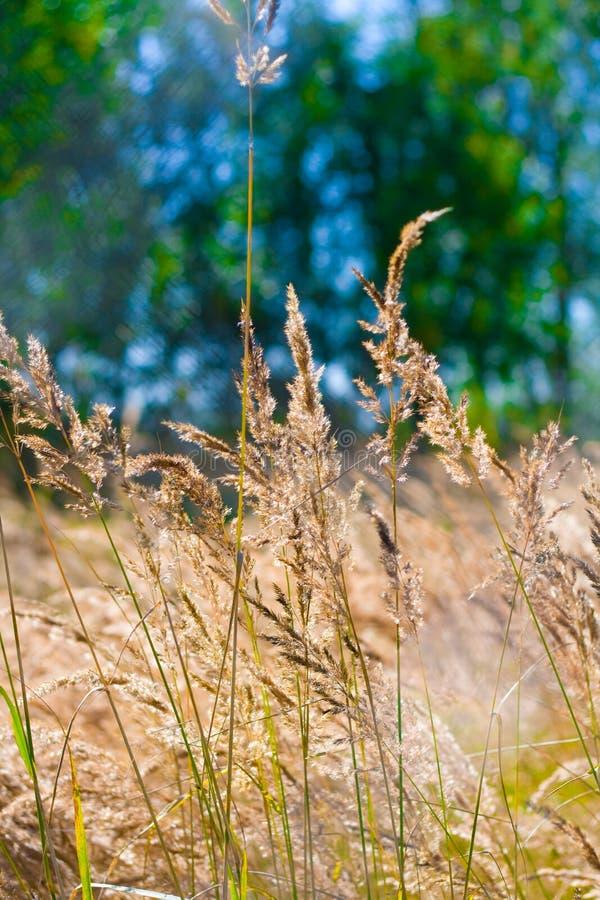 Geel gras royalty-vrije stock afbeelding