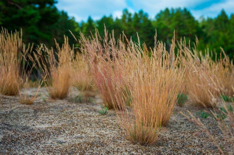 Geel gras in het zand stock foto's