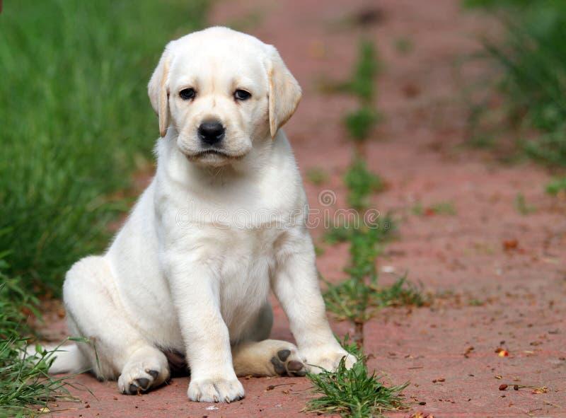 Geel het puppyportret van Labrador in de tuin stock foto's