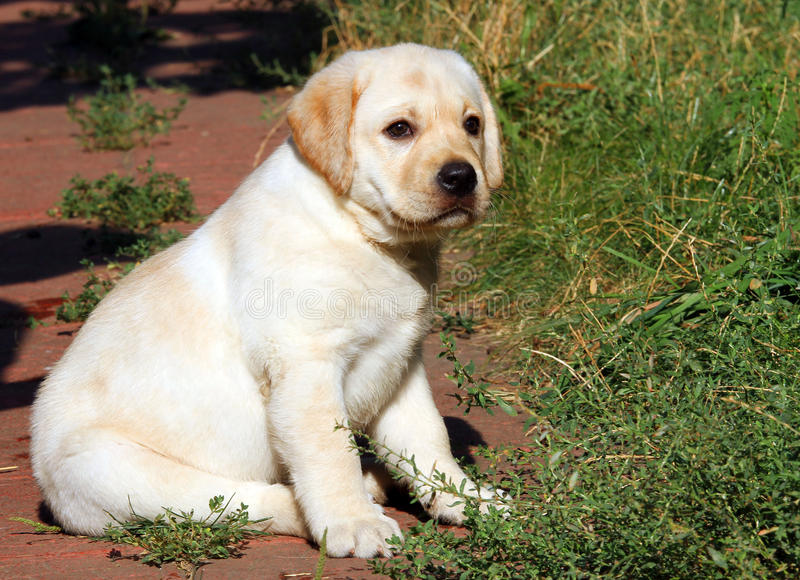 Geel het puppyportret van Labrador in de tuin stock foto