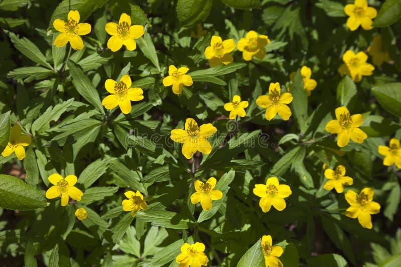 Geel hout anemon royalty-vrije stock afbeeldingen