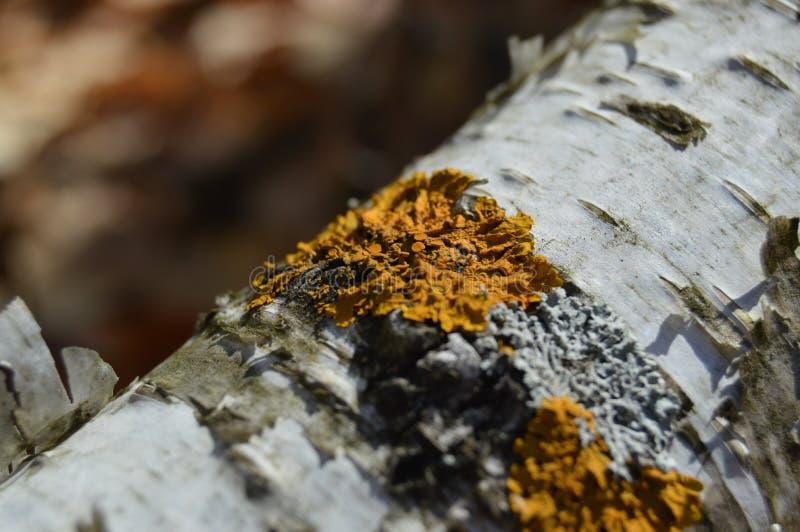 Geel Korstmos op boomtak stock foto