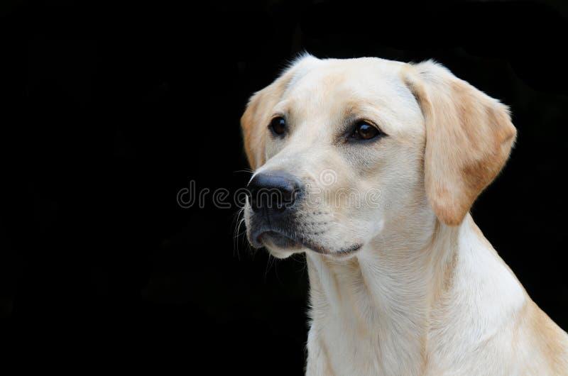 Geel Labrador stock afbeeldingen