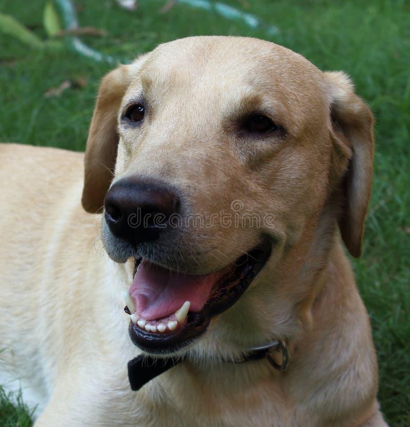 Geel Labrador neemt rust in de tuin royalty-vrije stock afbeeldingen
