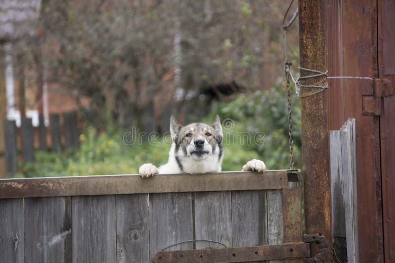 Geel Labradorpuppy die over houten raad kijken royalty-vrije stock fotografie