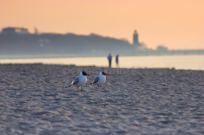 Geel-legged zeemeeuwen op strand stock foto's