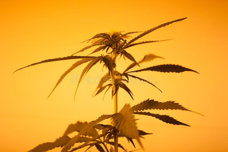 Geel Licht Marihuanasilhouet stock foto