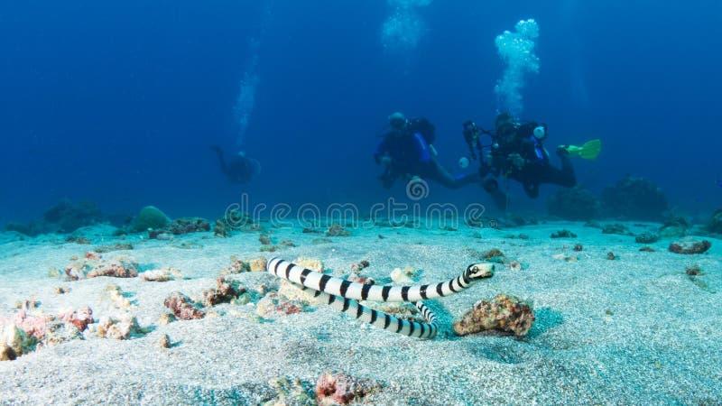 Geel-lipped overzees krait royalty-vrije stock afbeelding