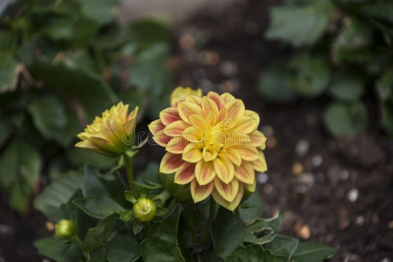 Geel met rode Dahlia bloeit close-up, mooie bloemen en knop die in de tuin bloeien royalty-vrije stock fotografie