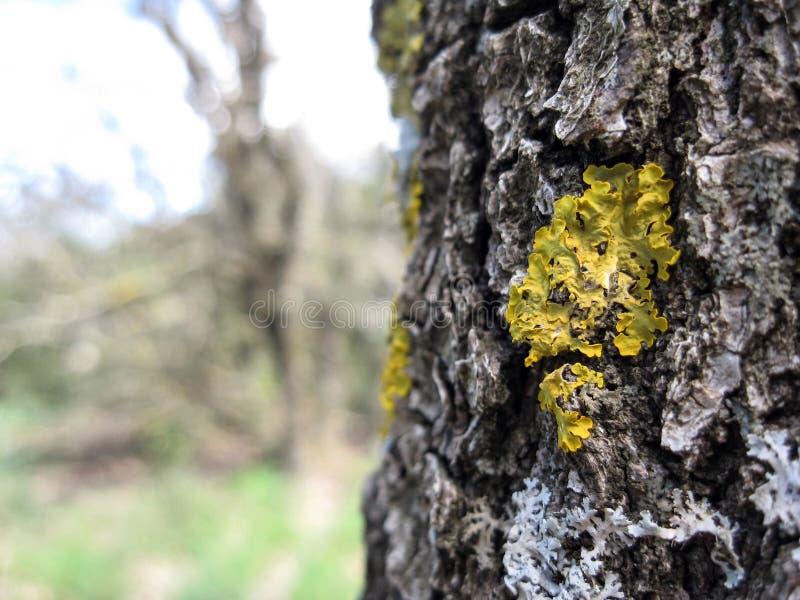 Geel mos op een schors van een oude boom in een bos in Golan Heights stock foto's