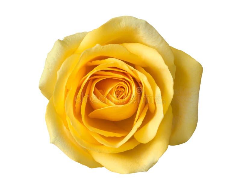 Geel nam bloem hoogste die mening op witte achtergrond wordt geïsoleerd toe, knippend weg stock fotografie