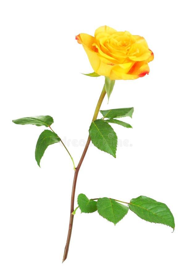 Geel nam bloem toe royalty-vrije stock afbeelding