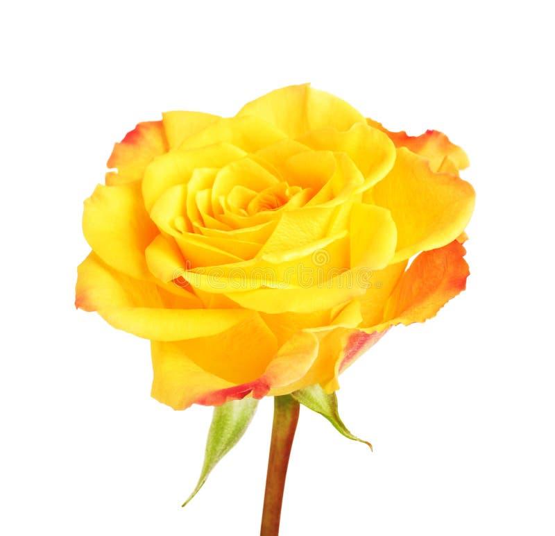 Geel nam bloem toe stock foto