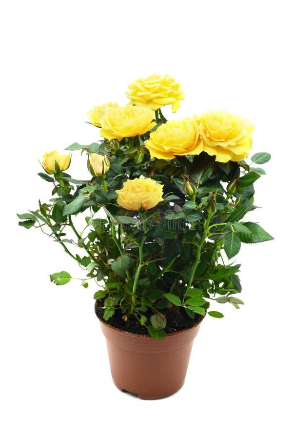 Geel nam in bloempot op wit geïsoleerde achtergrond toe royalty-vrije stock afbeeldingen