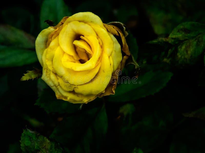 Geel nam in een tuin toe royalty-vrije stock foto's