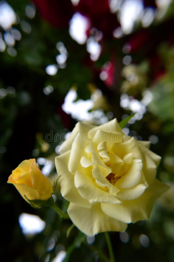 Geel nam en rosebud toe stock fotografie
