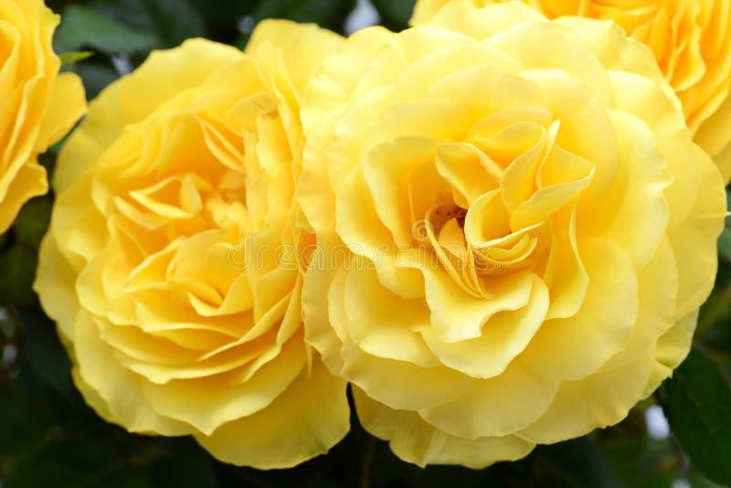 Geel nam flowerheads in close-upmening toe royalty-vrije stock foto's