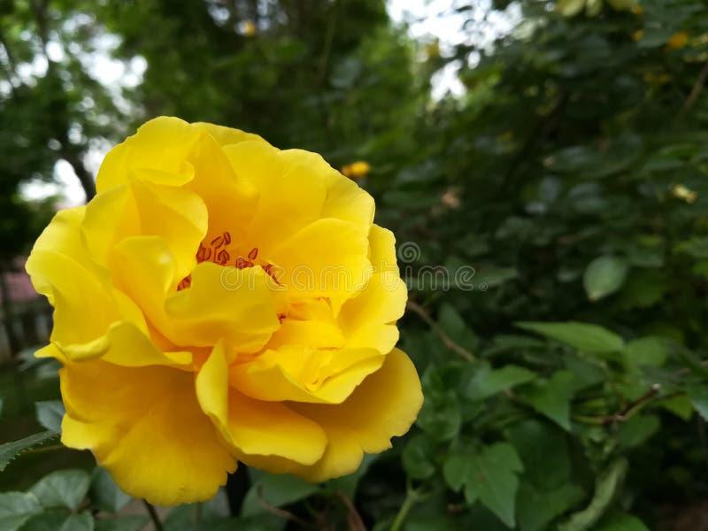 Geel nam tot bloei gekomen in de tuin toe royalty-vrije stock fotografie