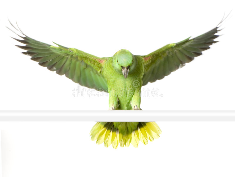 Geel-Naped Amazonië