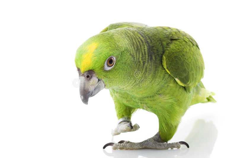 Geel-Naped de Papegaai van Amazonië stock afbeelding