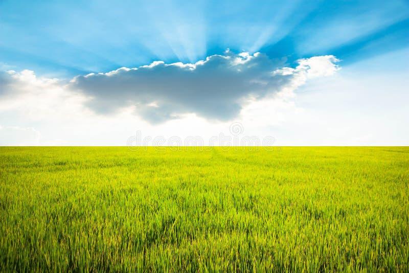 Geel padieveld met blauwe hemel en wolkenachtergrond royalty-vrije stock foto