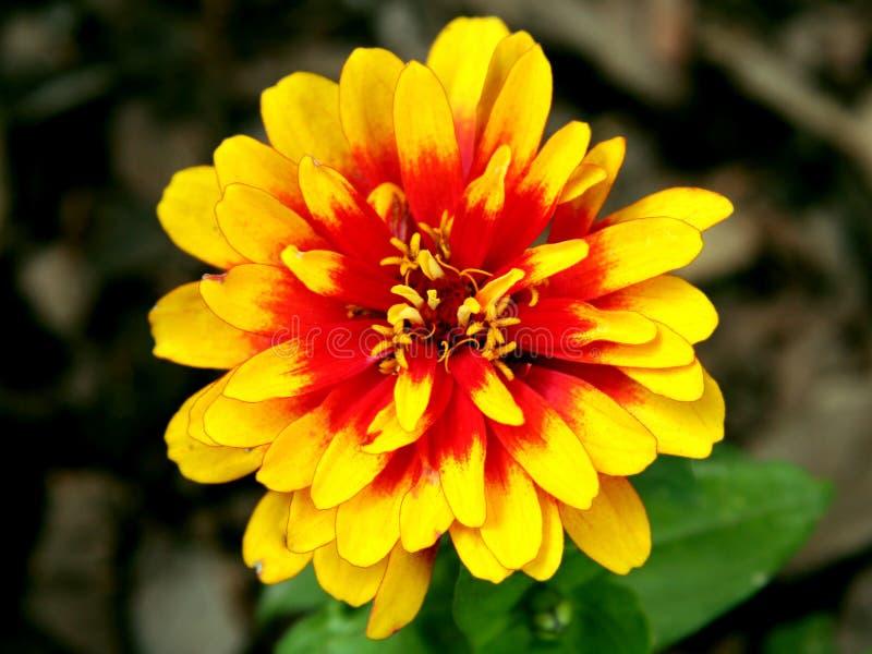 Geel-rode bloemclose-up stock afbeeldingen