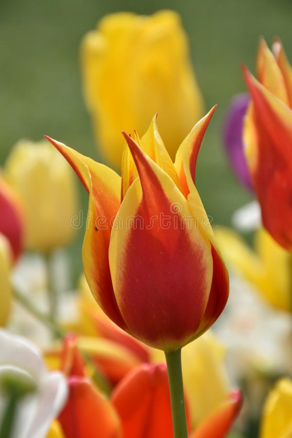 Geel-rode tulpenbloemen royalty-vrije stock foto's