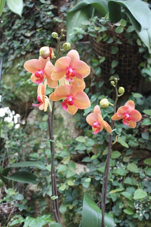 Geel-roze Orchideeënbloemen stock fotografie