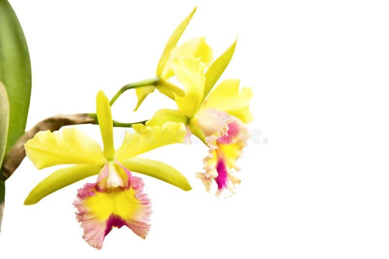 Geel - roze orchidee, cattleya stock foto