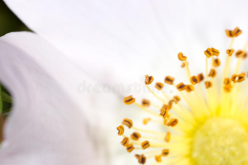 Geel stuifmeel in bloem Macro stock foto