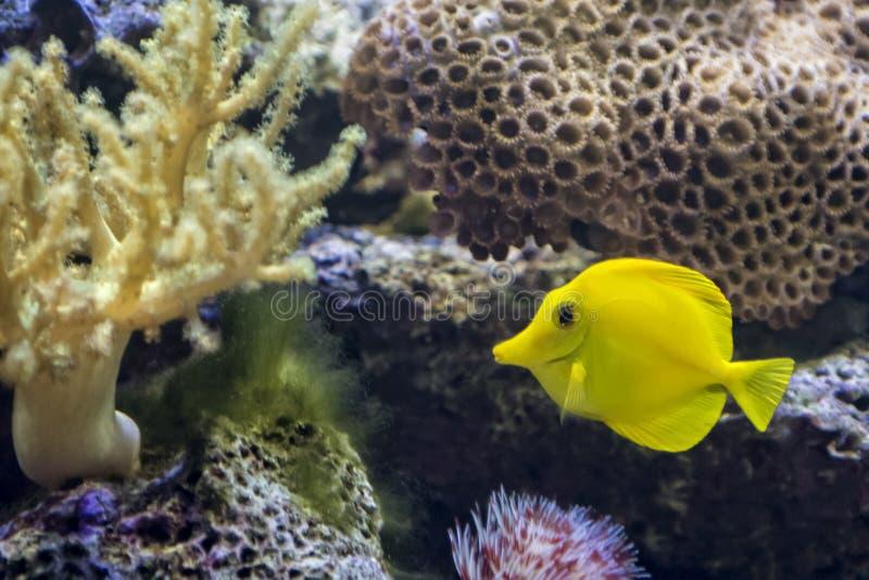 Geel Tang Tropical Fish royalty-vrije stock foto's