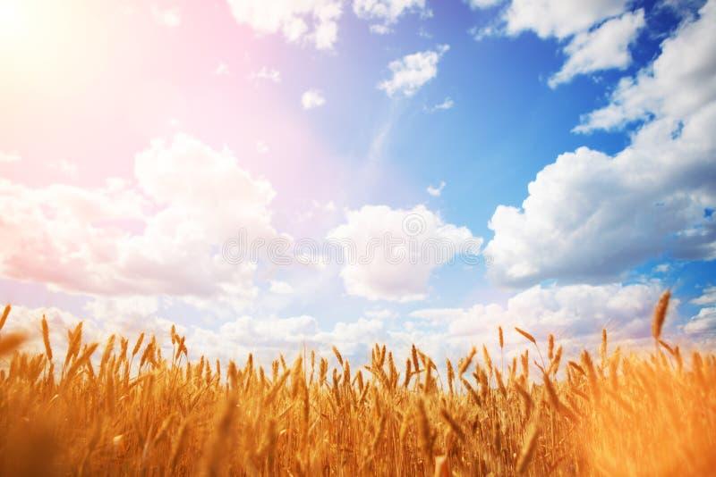 Geel tarweveld op de blauwe hemel en witte wolken achtergrond Landweergave Vrijheid en zorgvuldig concept Natuurlijke schoonheid, stock fotografie