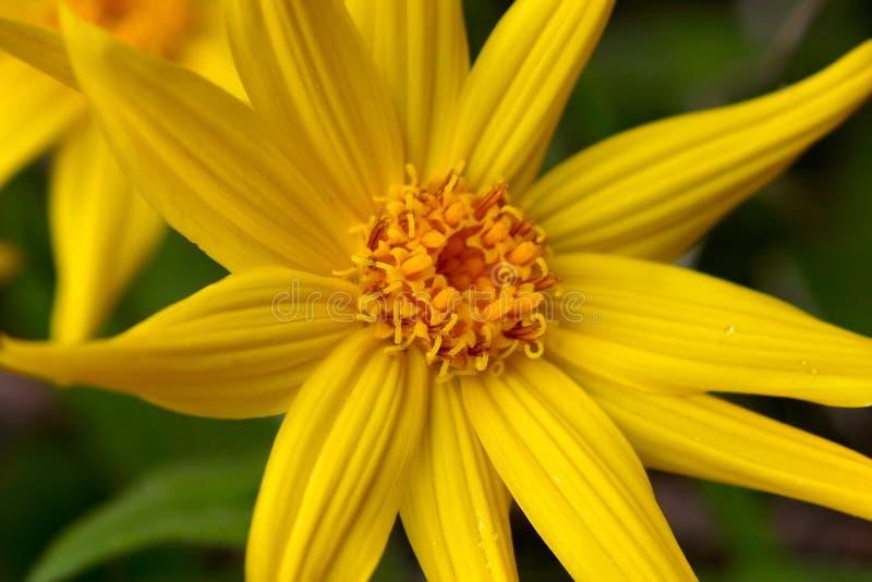 Geel Valkruid Wildflower royalty-vrije stock foto's