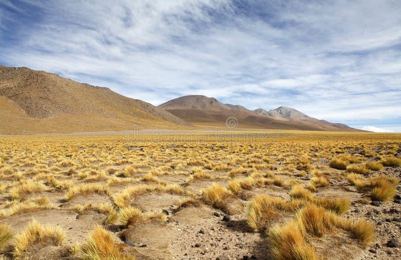 Geel veld, Peruviaans vedergras bij de Puna de Atacama, Argentinië stock foto
