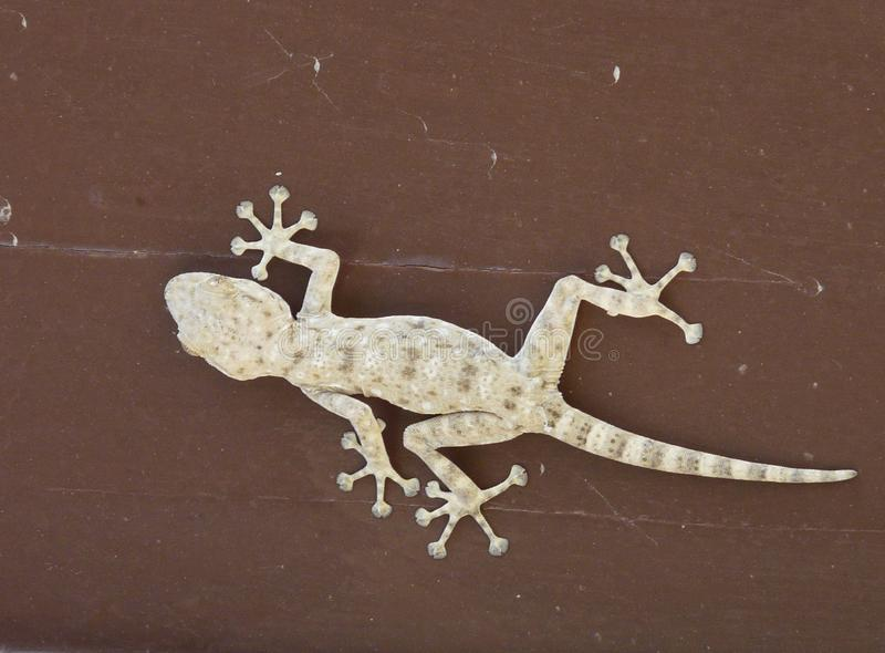 Geel ventilator-fingered gekko stock afbeeldingen