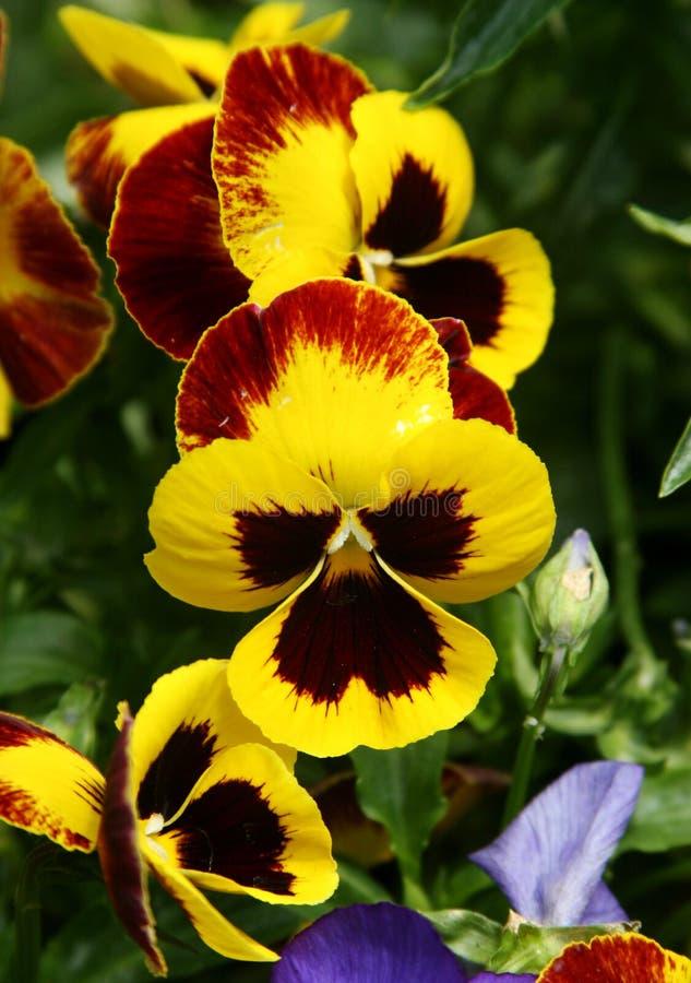Geel viooltje royalty-vrije stock fotografie