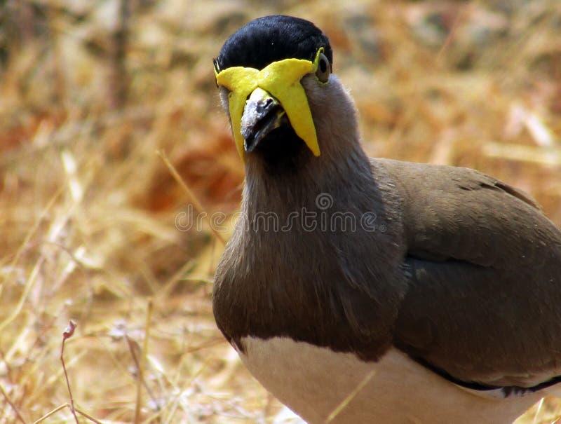 Geel-Wattled malabaricus van kievitvanellus Als andere kieviten en plevieren, zijn zij gemalen vogels stock fotografie