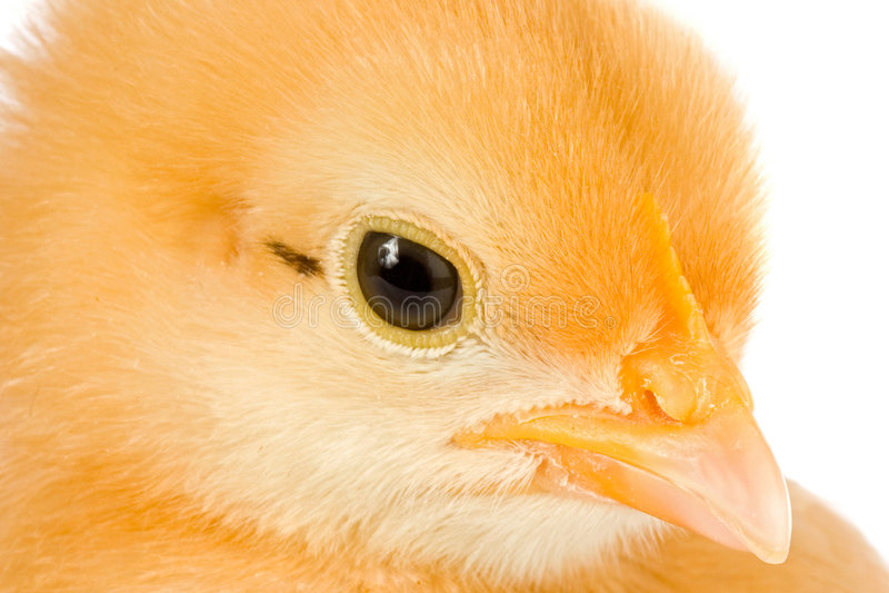 Geel weinig kip stock fotografie