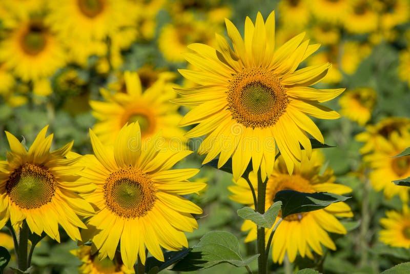 Geel zonnebloemengebied ukraine stock afbeelding