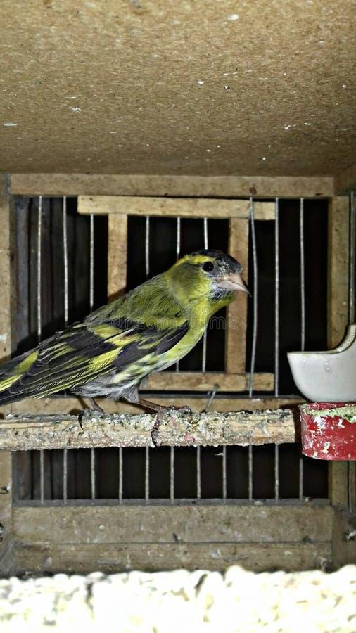Geel - zwarte kanarie stock afbeelding