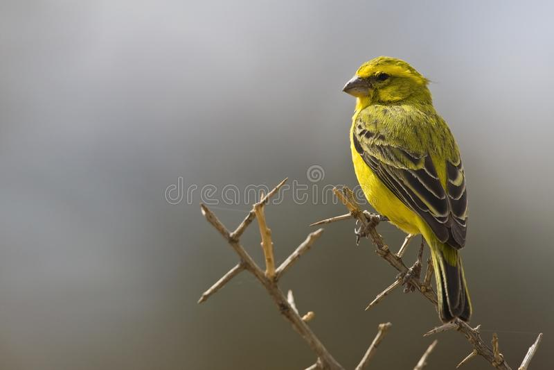 Geelbuiksijs, canari jaune, flaviventris de Serinus photos stock