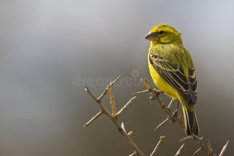 Geelbuiksijs, Gele Kanarie, Serinus-flaviventris stock foto's