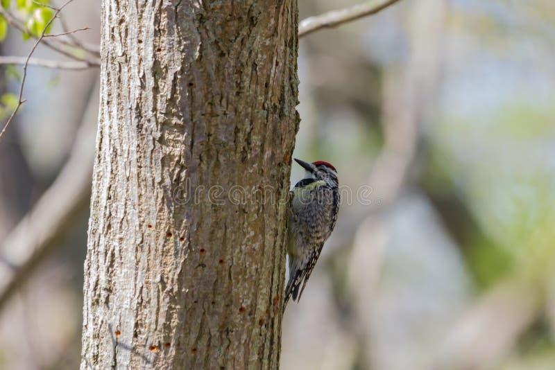 Geelbuikslang die vastklampt aan een boomstam stock afbeelding