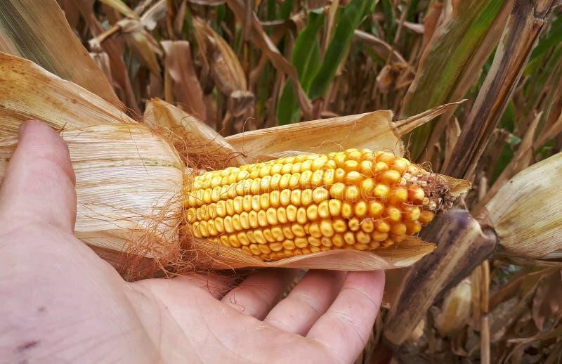 Geelgele corncob stock afbeelding