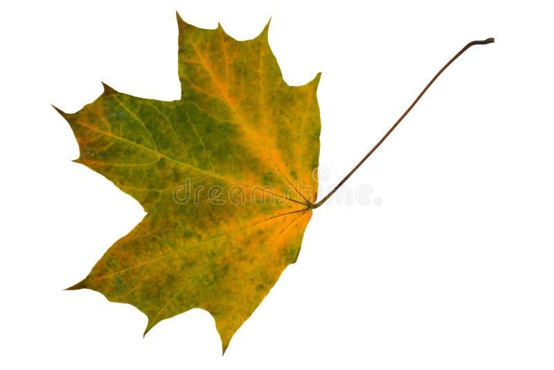 Geelgroen droog esdoornblad stock afbeeldingen