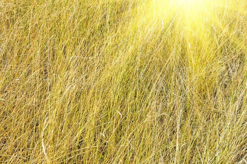 Geelgroen droog gras stock foto's