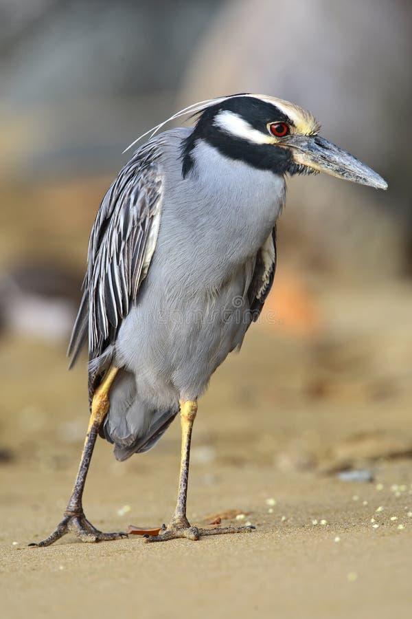 Geelkruinkwak, Yellow-crowned Night-Heron, Nyctanassa violacea. Geelkruinkwak op het strand Tobago, Yellow-crowned Night-Heron at the beach Tobago royalty free stock images