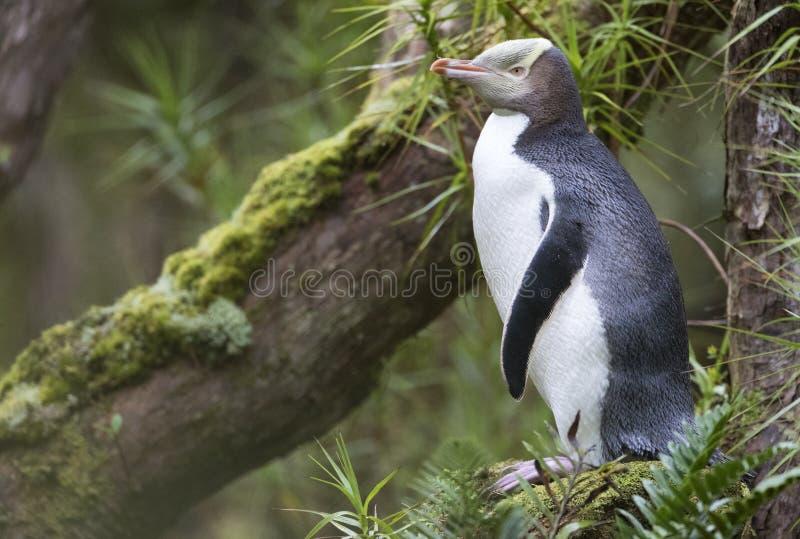 Geeloogpinguin,黄色目的企鹅, Megadyptes对映 免版税库存照片