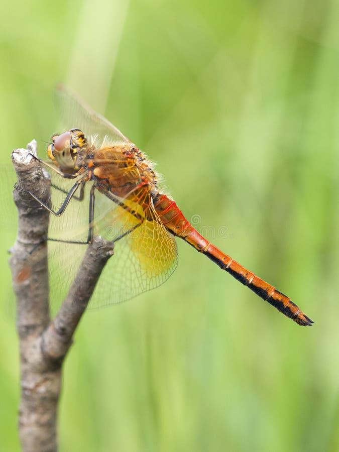 Geelvlekheidelibel, Darter Amarillo-con alas, flaveolum de Sympetrum fotos de archivo